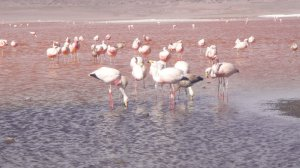 Flamingoes on the Salt Flats Tour